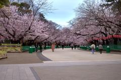 上野恩賜公園さくら道