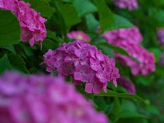 不忍池の紫陽花(2)