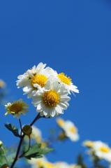 秋晴れと路傍の小菊