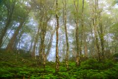 霧の原生林