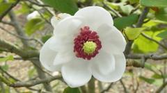 オオヤマレンゲの花。