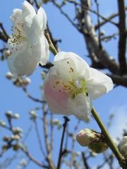 かわいい桜。