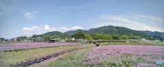 甘樫 レンゲ畑