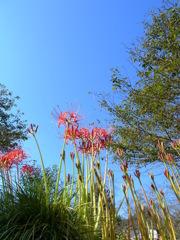 青空に映える彼岸花。
