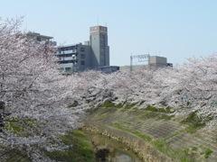佐保川の桜。
