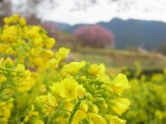 石舞台の菜の花。