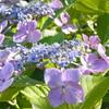 ヤマアジサイの花。