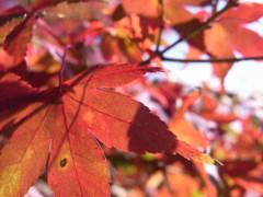 陽に透けた紅葉。