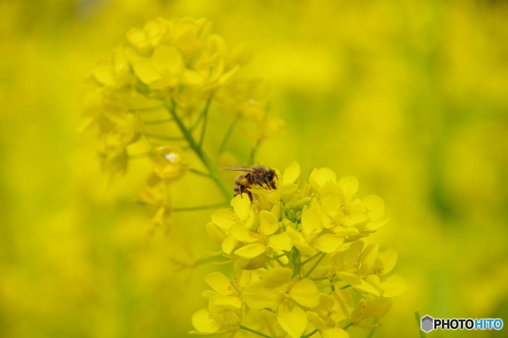 菜の花にミツバチ