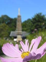 早咲きコスモスと十三重石宝塔。