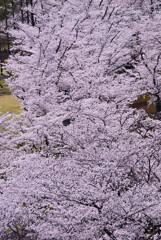 桜満開2021