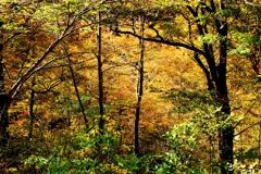 ブナ林の輝き