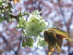 聖天さんの桜・御衣黄