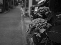 紫陽花二題〜Monochrome