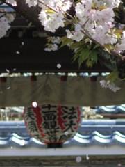 聖天さんの桜・散り行く