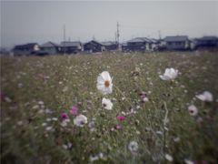 IKARUGA拾遺~秋桜 #1