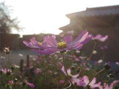 IKARUGA拾遺~秋桜 #2