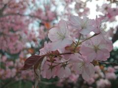 百年桜 #2