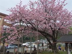 百年桜 #1