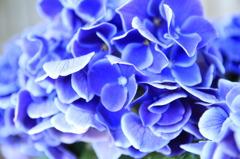 いろいろな紫陽花、あります。