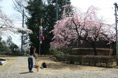 宇都宮の桜