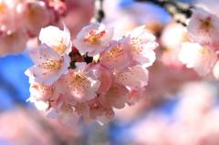 早咲き桜 2