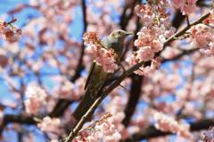 桜と鳥 1