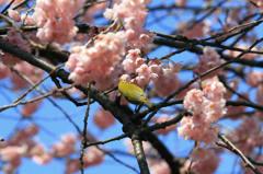 桜とメジロ 1