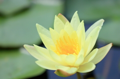 Lotus of the early summer !