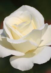 秋の薔薇1