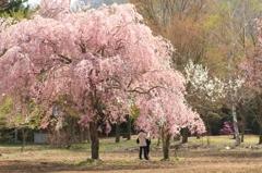 桜の木の下で。。