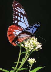 渡り蝶々1