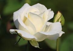 秋の薔薇2