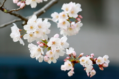 It is in full blossom in spring!