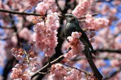 桜と鳥 2