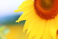 Sunflower of the morning