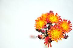紅輪蒲公英Hieracium aurantiacum
