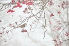 赤口睦月さがり鶫 雪煙淡く石狩原野