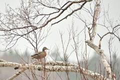 鴨も煽てりゃ木に登る 1