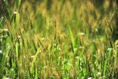 小麦色のマーメイド