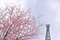 花曇りの満開桜 鉄塔添え
