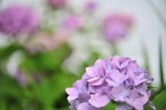 遅咲き紫陽花