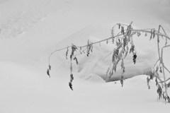 洋種山牛蒡の冬