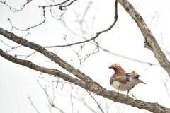 鴨も煽てりゃ木に登る 2