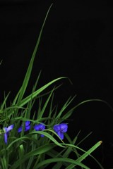 紫露草の頃