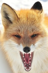 Anger wild
