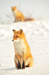 狐の狐憑き