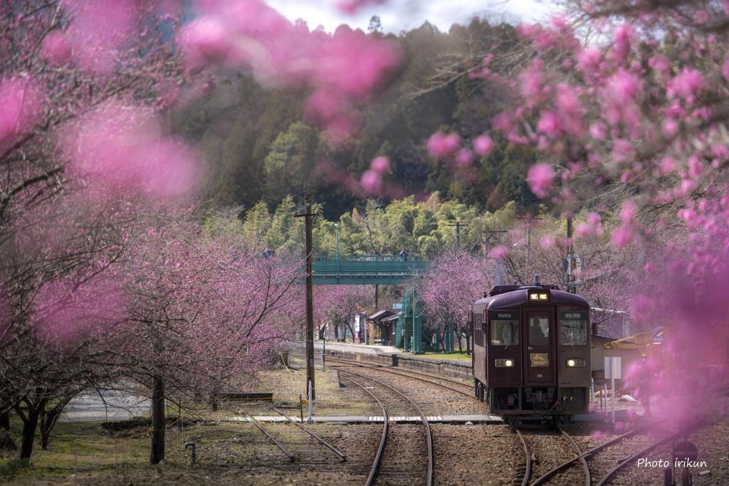 桃色に染まる里山