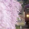 上神梅の枝垂れ桜
