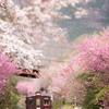 桜も満開になりました